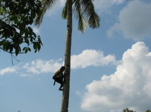 Sixty-seven year old Dayak village elder Pak Ijai climbs a tall coconut tree